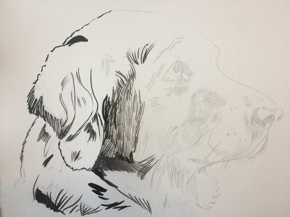 "I was very lucky to work on a picture of a gorgeous golden retriever; an incredibly beautiful dog to get to stare out for hours. I sketched her with a 3H drawing pencil (I only this semester learned that the letters and numbers that go with drawing pencil correspond with how dark they are. The H pencils are lighter -- H stands for ""Hardness"" -- and the B pencils are darker -- B stands for ""Blackness""); I like the lighter pencils for watercolors, although Peggy uses B pencils and her drawings are better than mine, so take your pick."