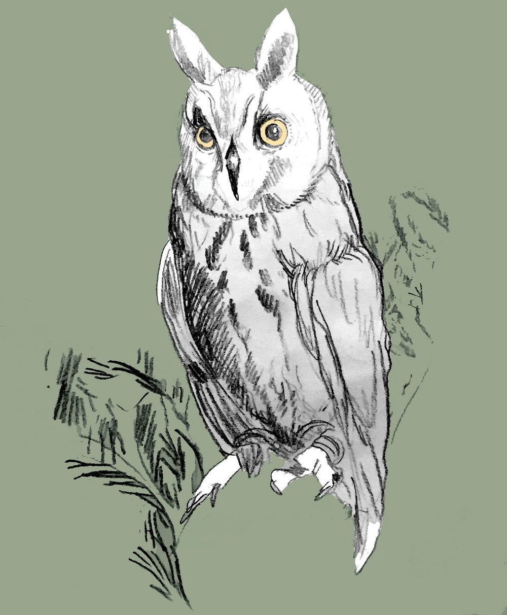The variety of owl we saw was a long-eared owl. They're actually super-rare to see; they're very secretive and small and camouflage well. A special bird.
