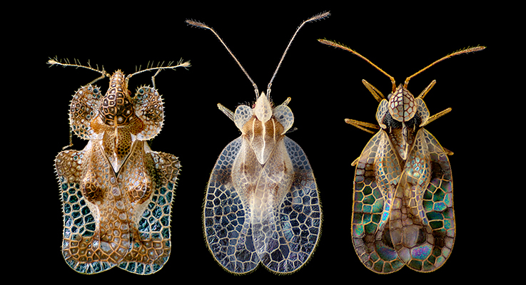 The fabulous lace bug. Photo by Thomas Shahan, Oregon Department of Agriculture, via Digger.