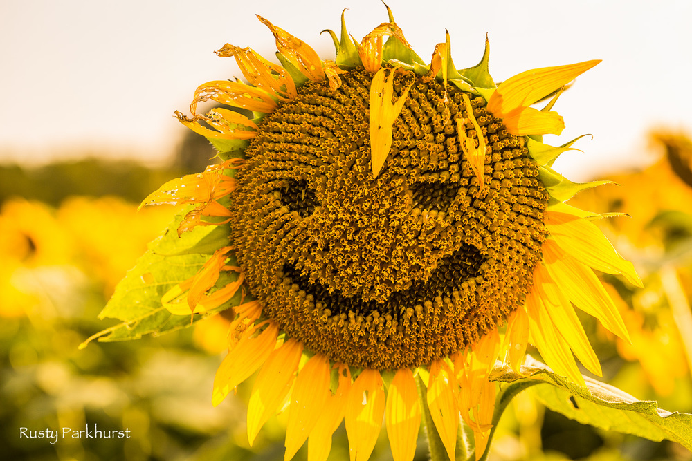Happy Sunflower