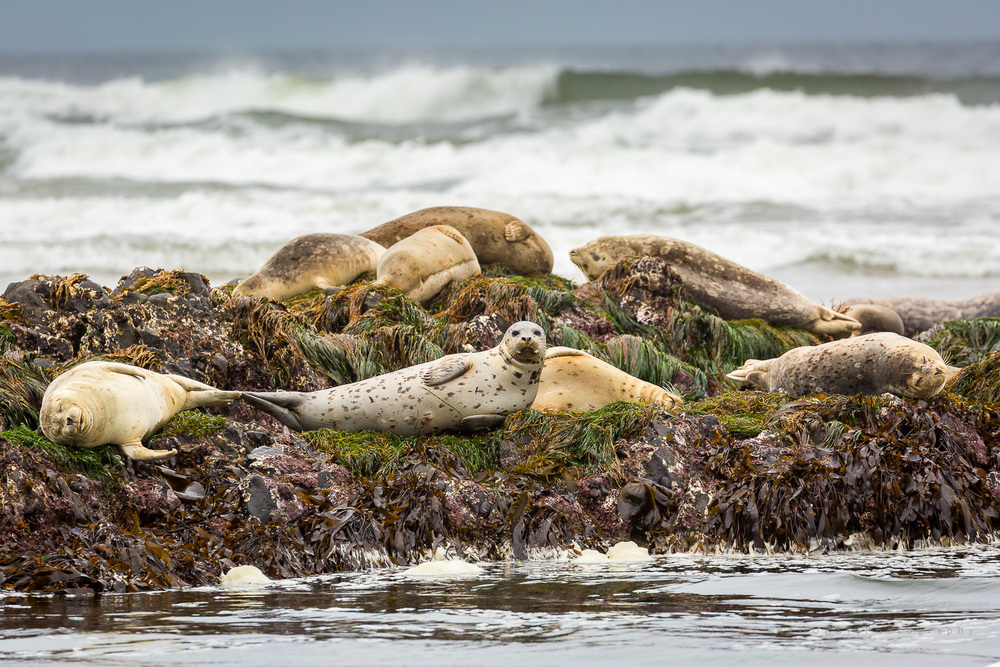 A Harbor Seal's Life
