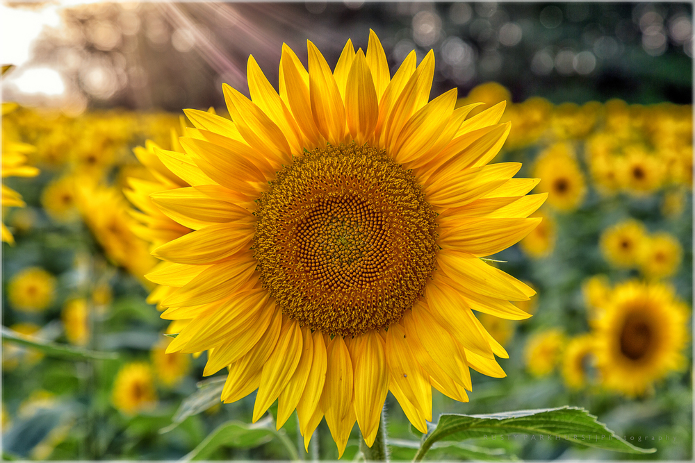 Sunbeam Sunflower