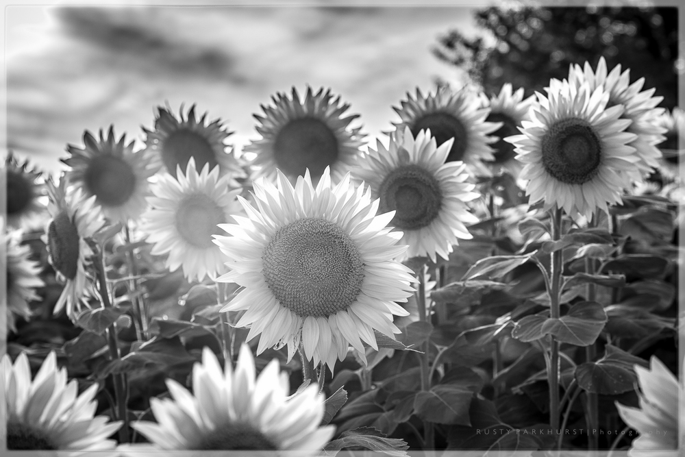 Sunflowers in B&W
