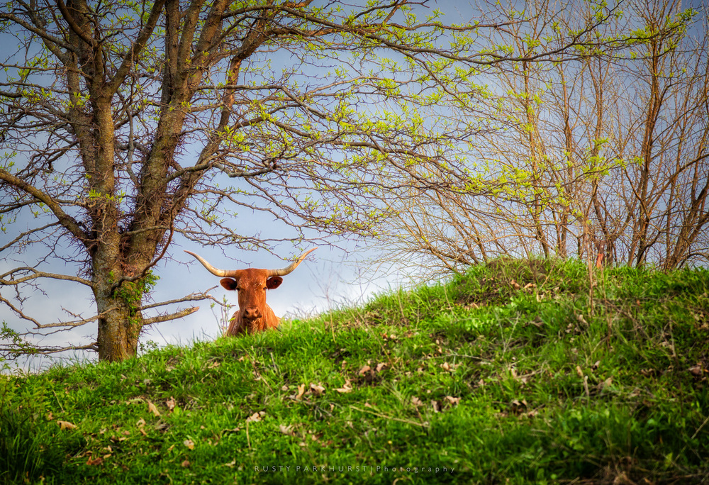 What Are You Looking At?   - taken April 21, 2015.  Another in the category of an image that just sort of happens.  On a walk in the woods behind our house, I approached the neighbor's fence-line and noticed this fellow intently watching as I passed.  I decided to make an image, which turned out to be my most popular on  Flickr.com  for the year.  Go figure...