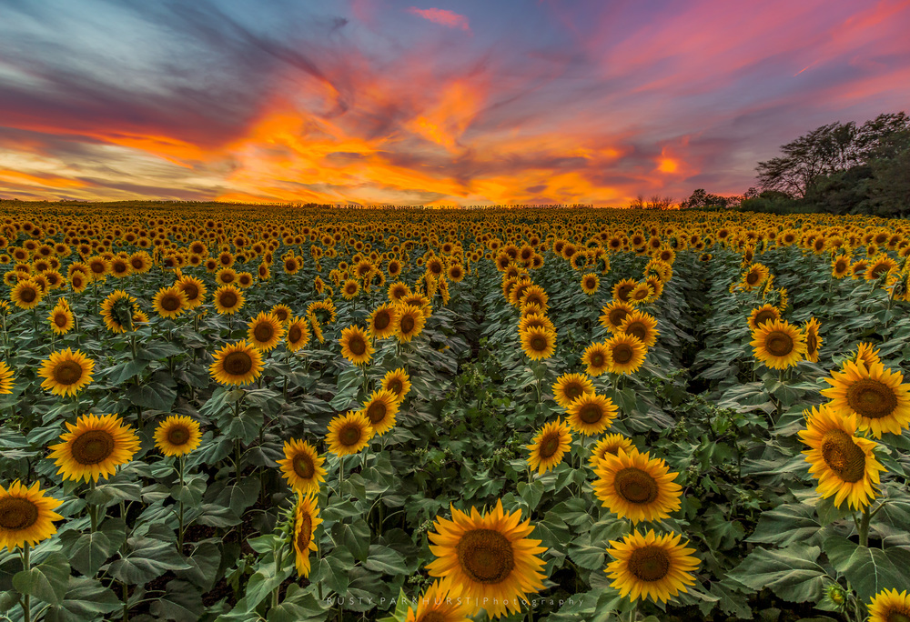 Grinter Farms Sunset   - taken September 5, 2015.  Grinter Farms, located near Tonganoxie, Kansas, is a popular spot for local photographers near the end of summer each year, as the sunflowers open in all their glory.  I was there on this evening, along with hundreds of other people who were wandering the fields taking pictures.  Trying to get away from the crowd, I made my way into the middle of field, attached my camera to a monopod, and held it overhead to get above the sunflowers and capture this sunset image.