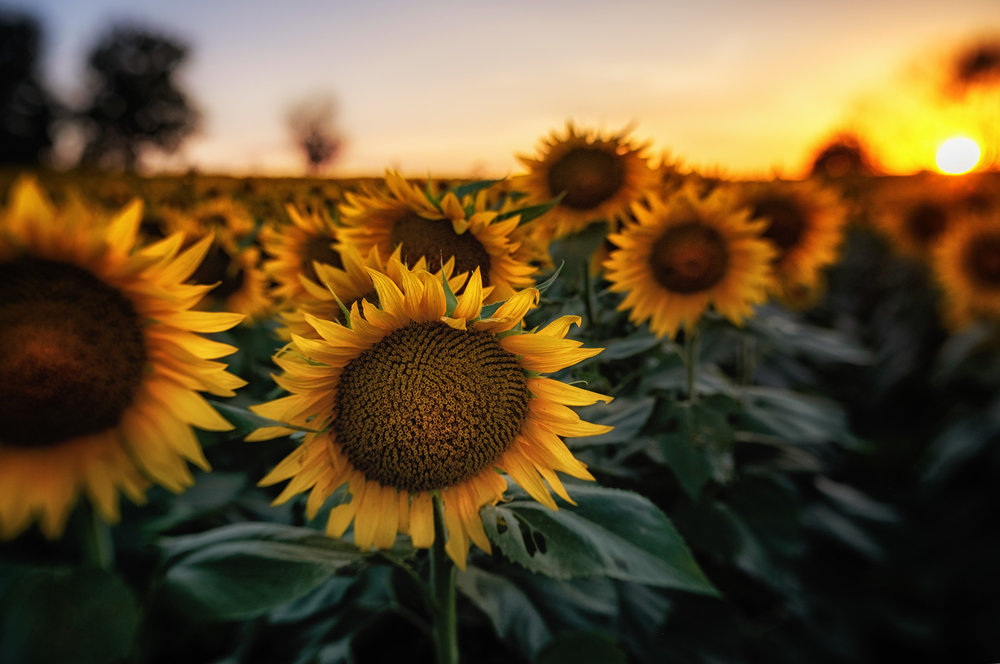 Grinter Sunflower Farm at sunset, using the Sweet optic on the Lensbaby Trio 28.