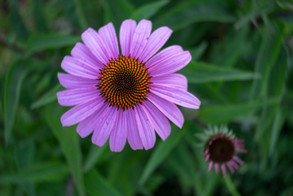 Purple Coneflower; using the Twist optic on the Trio 28.