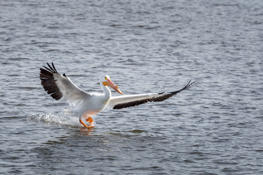 The pelicans caught their share of fish, too.
