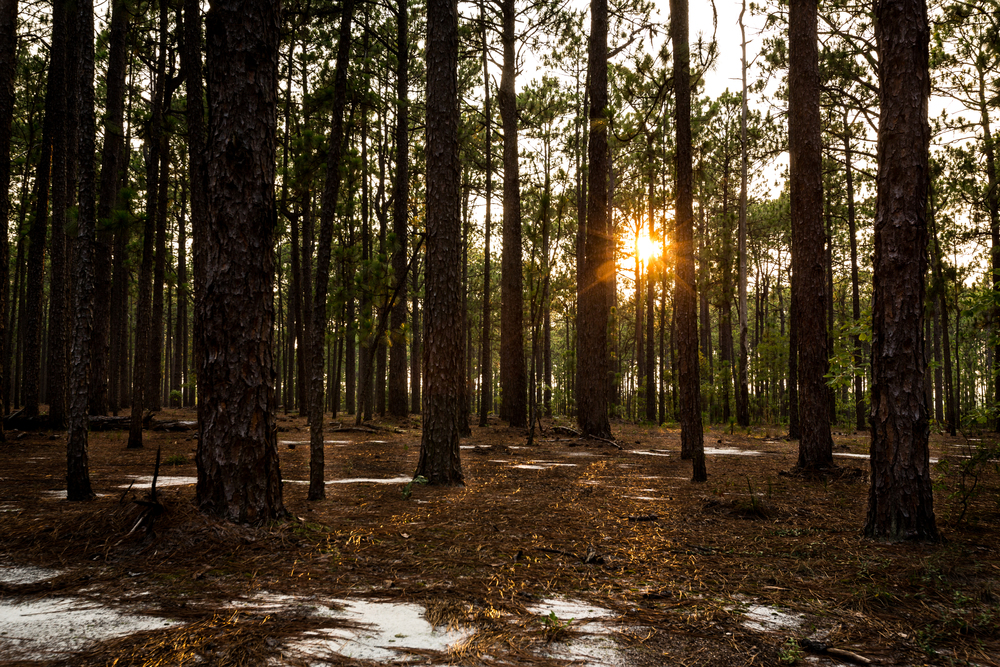 Sunset through the longleaf pine forests at the Sandhills Gamelands.