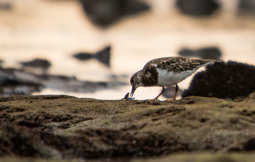 Ruddy Turnstone - Arenaria interpres (native, overwintering)