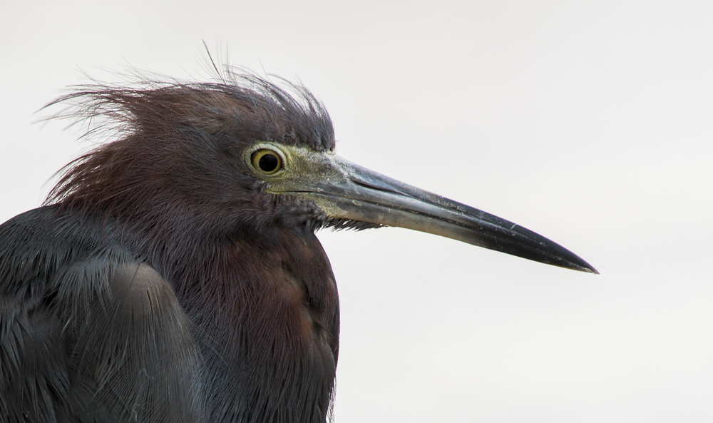 Little Blue Heron -  Egretta cerulea