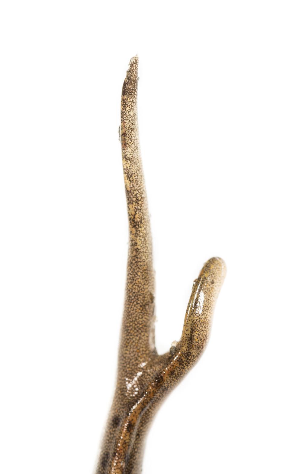 Allegheny Mountain Dusky Salamander - Desmognathus ochrophaeus