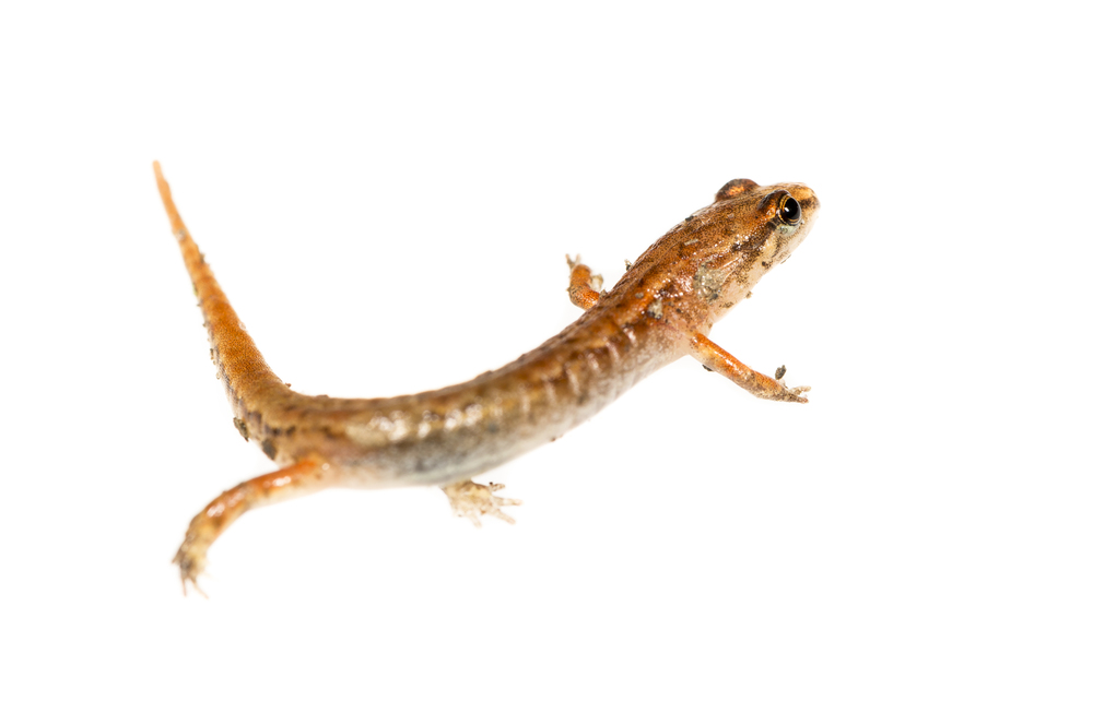 Pygmy Salamander - Desmognathus wrighti
