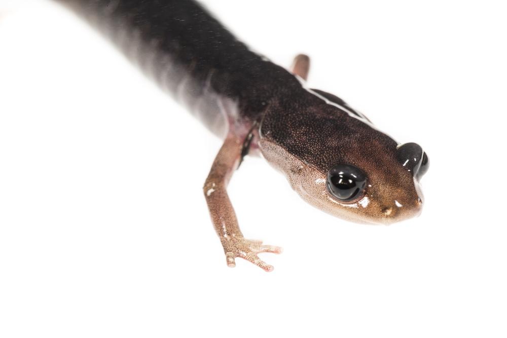 Grey-cheeked Salamander - Plethodon metcalfi
