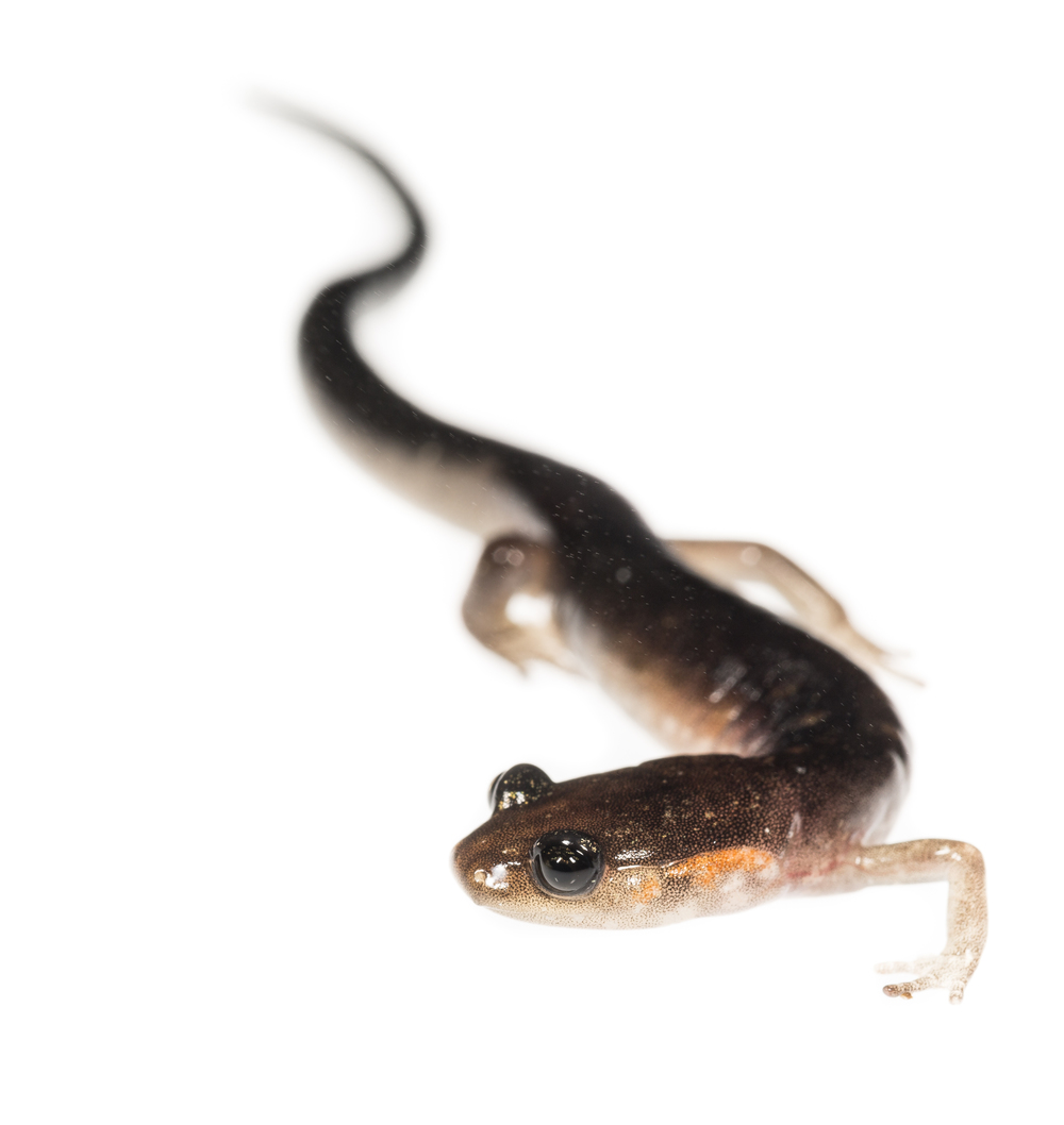 Plethodon hybrid (possible; jordani, teyahalee, metcalfi)