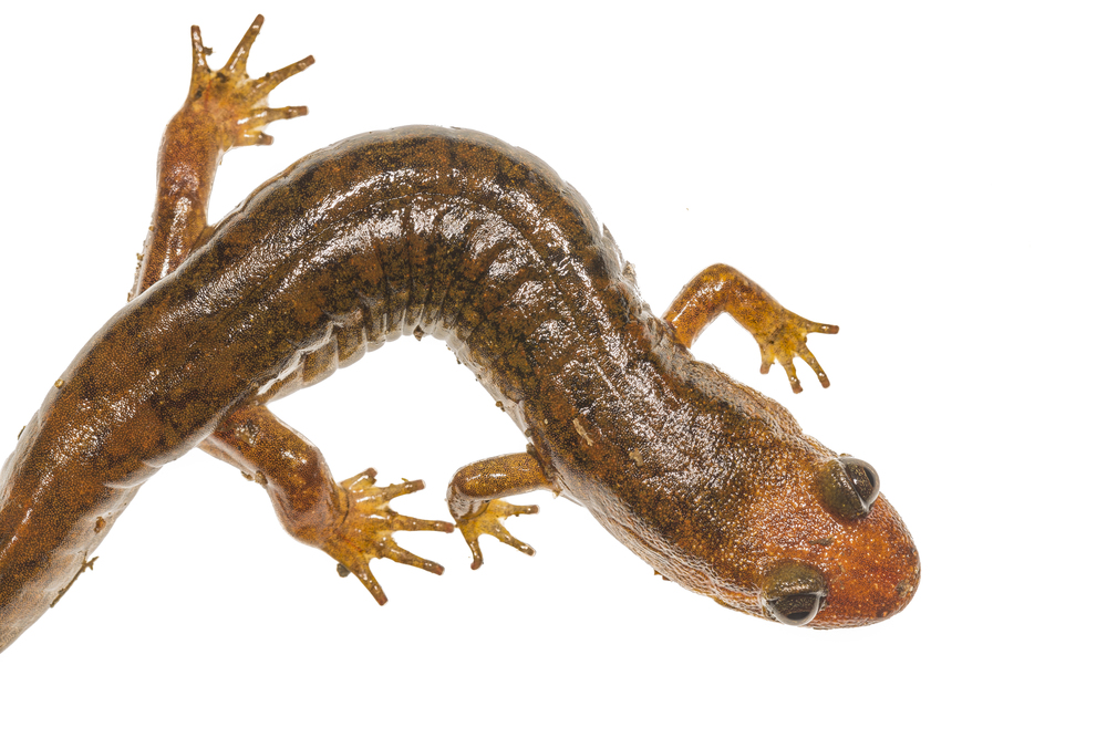 Black-bellied Salamander -  Desmognathus quadramaculatus