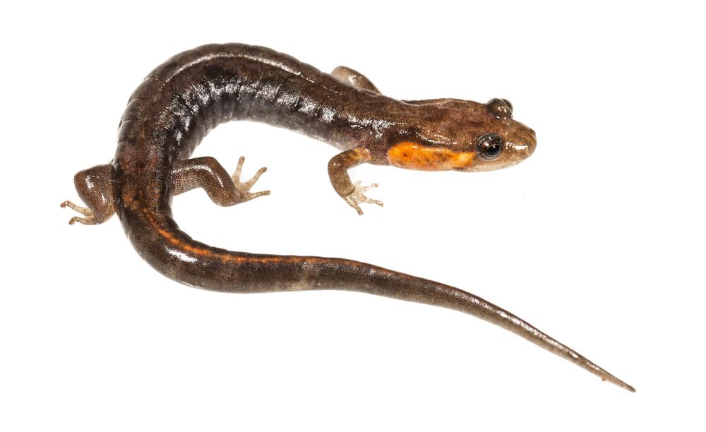 Imitator Salamander - Desmognathus imitator