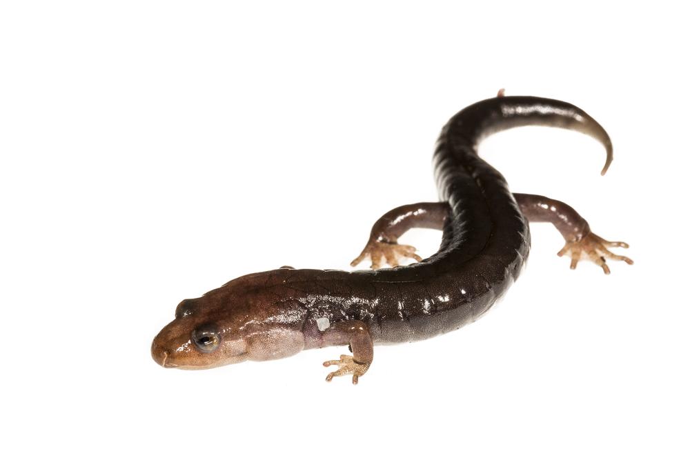 Ocoee Salamander - Desmognathus ocoee