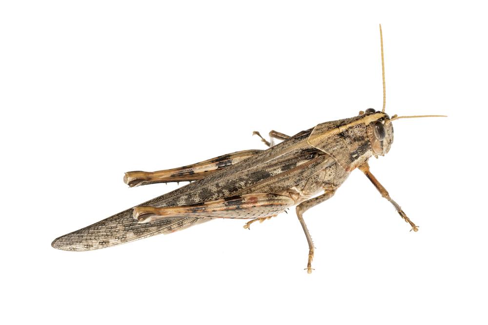 Vagrant Grasshopper - Schistocerca nitens
