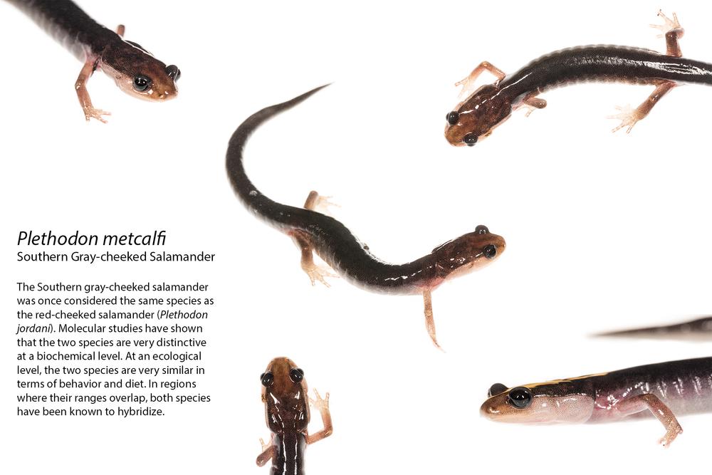 P.metcalfi.jpg