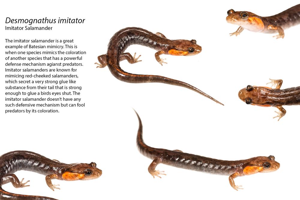 Imitator Salamander.jpg