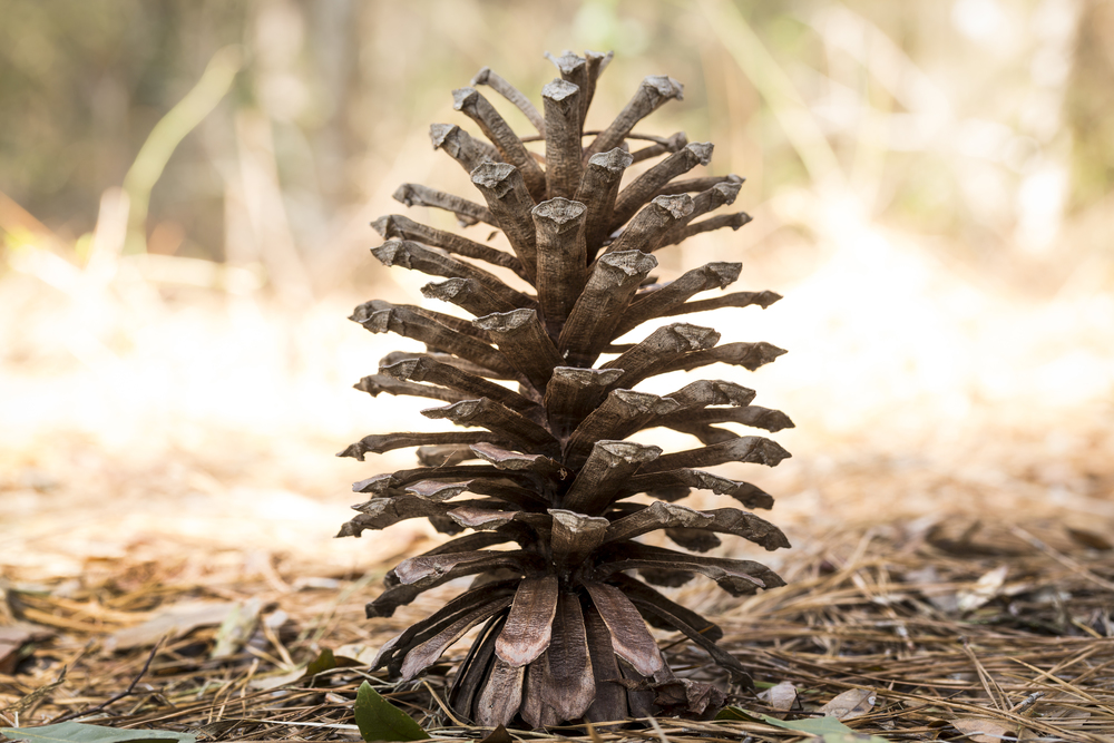 Longleaf Pine cones are the largest of the southern pines, ranging from 5-12 inches