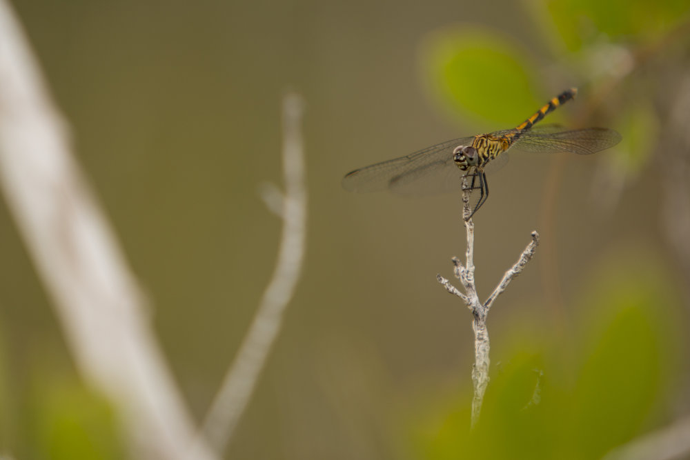 Dragon Fly - Suborder: Anisoptera