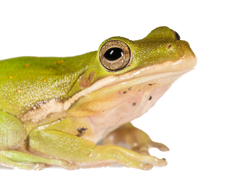 Green Tree Frog -  Hyla cinerea