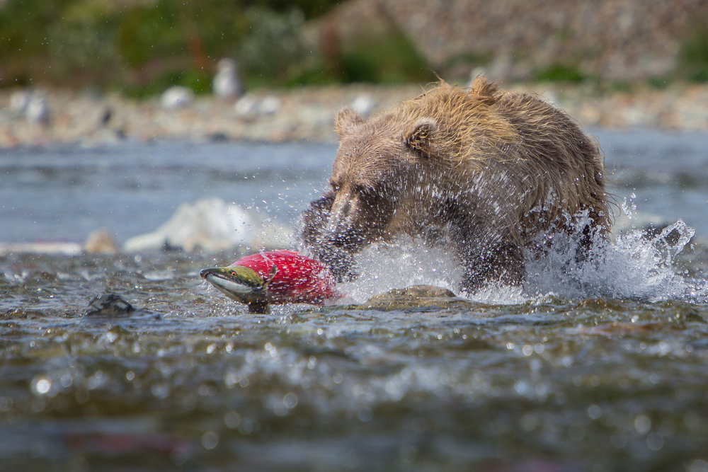 A 2-3 year cub practices hunting salmon