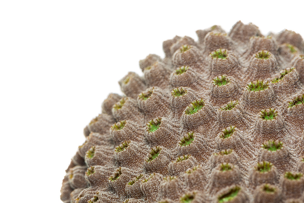 Orbicella faveolata  - Mountainous Star Coral