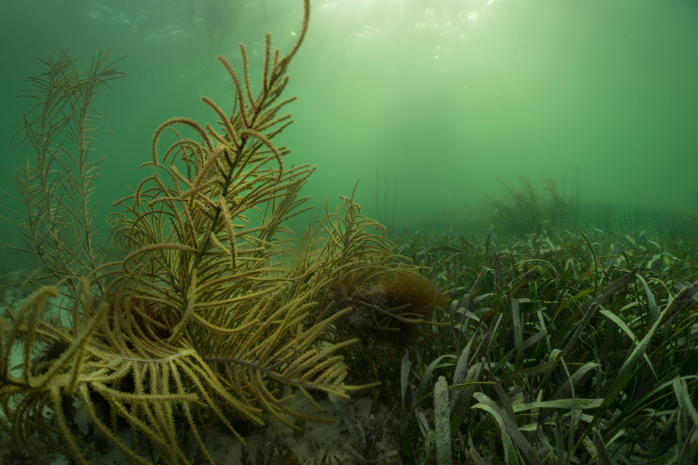 Soft corals shown left may look like marine plants in the way they sway back and forth, but up close each of its branches are covered with tiny mouths feeding on planktonic organisms.