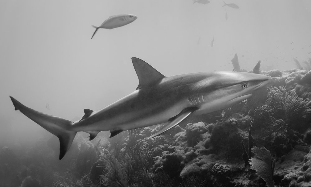 Caribbean Reef Shark -  Carcharhinus perezii  Caribbean Reef Sharks are one of the most common sharks seem on coral reefs in the Florida Keys. These apex predators are an essential part of the ecosystem, keeping other species in check from oversized populations.