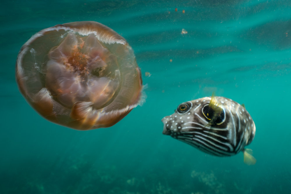 Stars-and-stripes Puffer -  Arothron hispidus  A helpless jellyfish is repeatedly attacked by a puffer above Ningaloo Reef.