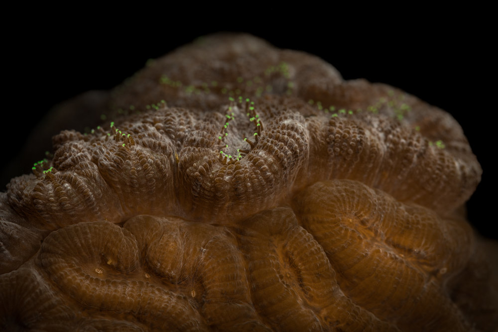 Pseudodiploria clivosa  - Knobby Brain Coral A closer look at the previous photo where the colony with the green tipped tentacles is is growing over the other.