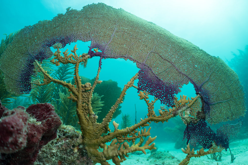 Aspergillosis (a fungal disease) has been shown to kill Sea Fans ( Gorgonia   ventalina ) in the Florida Keys. Following the death the disease is causing is a Branching Fire Cora( Millepora alcicornis ), which is encrusting over the Sea Fan.
