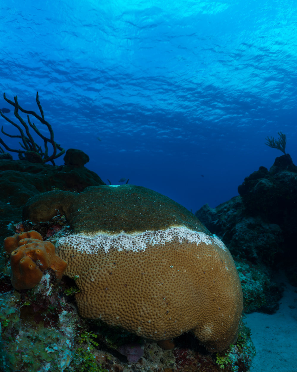 Siderastrea siderea  - Massive Starlet Coral Disease is becoming an increasingly problematic issue on coral reefs. This form of white disease is moving from top to bottom on this coral head. Everything above the white line is dead and covered in algae while everything below is still alive.