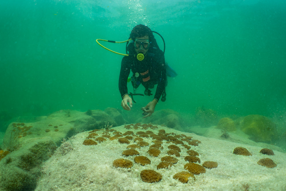 After two years of outplanting at Fort Zachary Taylor Historic State Park, the snorkel pathway looks like poka-dots of coral. In a few more years, many of these arrays will be fused together.