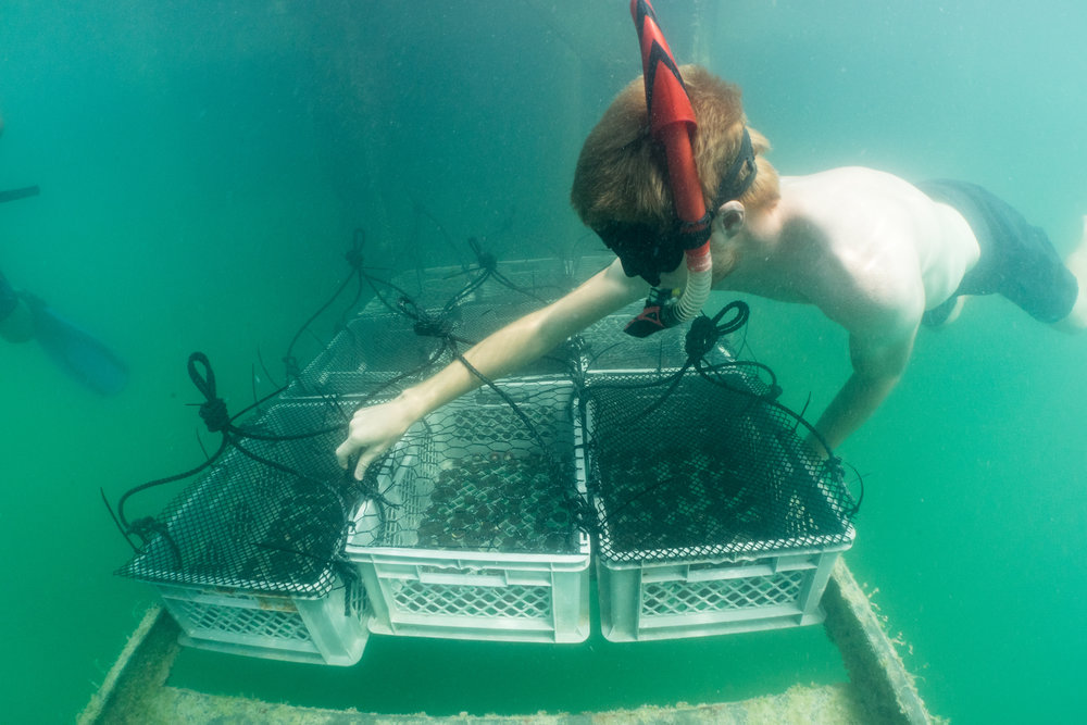 Securing baskets of corals for acclimation.