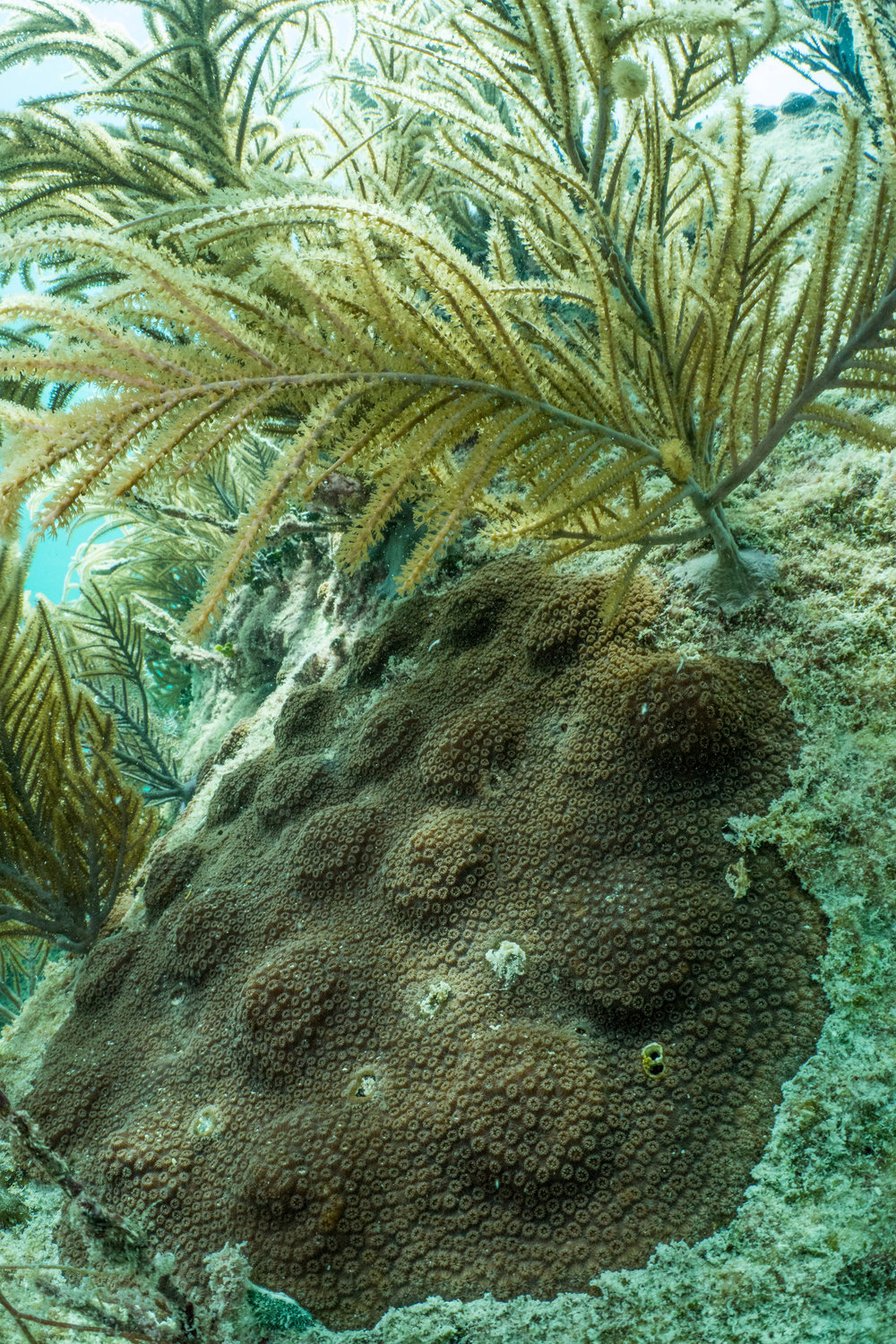 20 fragments of Mountainous Star Coral complete the fusion process, creating one large colony.
