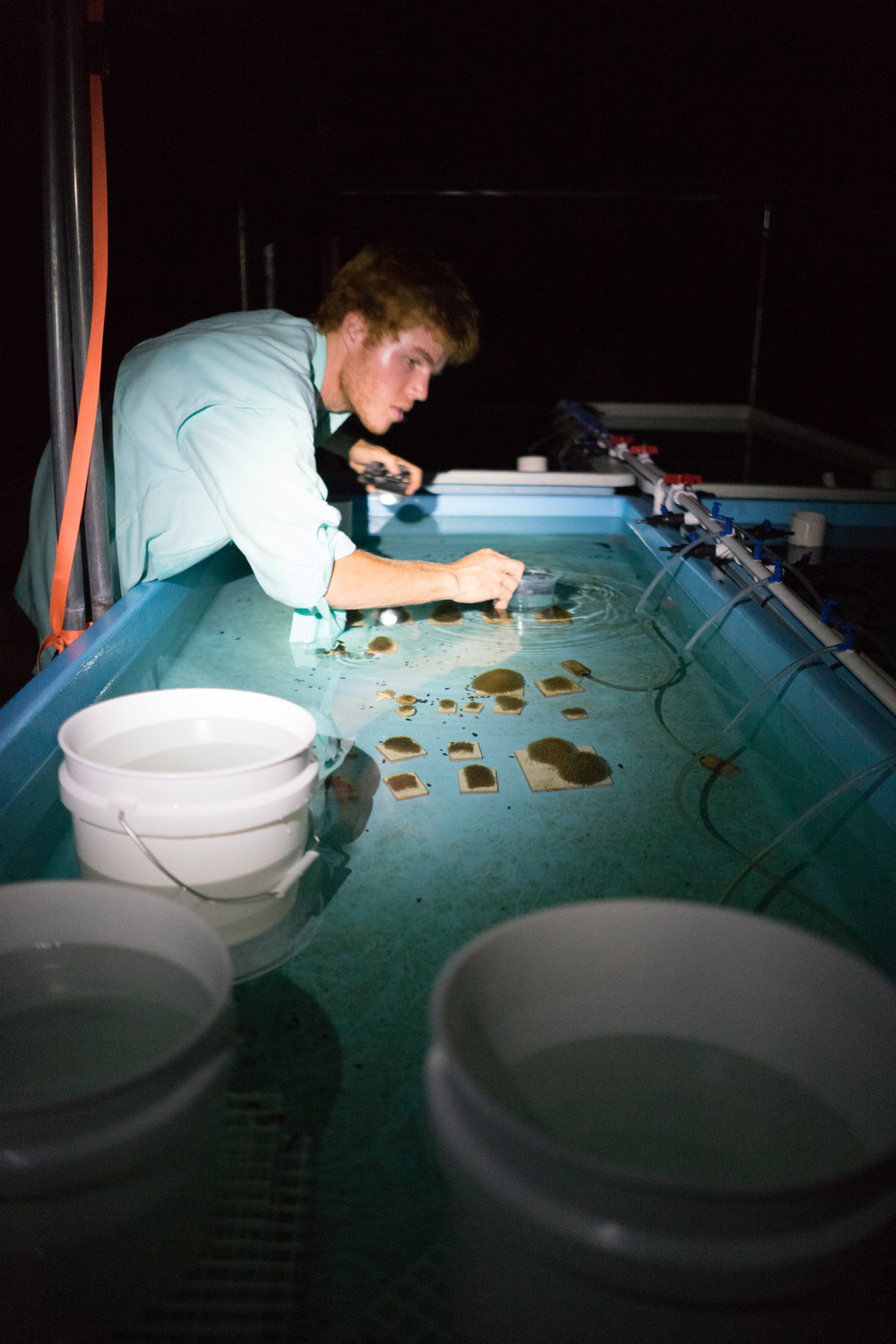 Intern Nick MacKnight watches fragments of Pillar Coral, waiting for them to release their gametes.