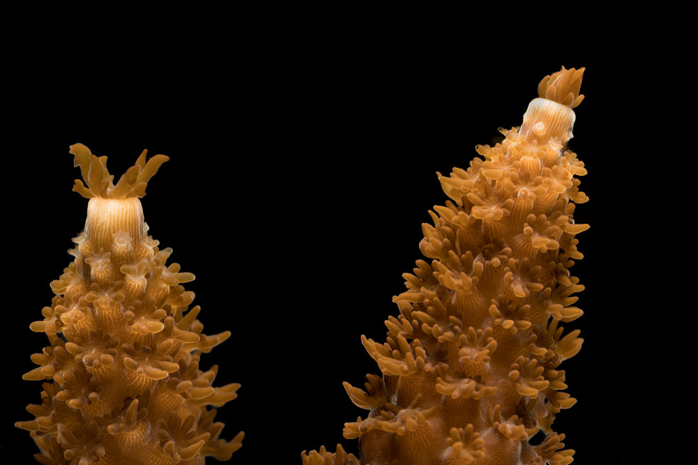Staghorn Coral ( Acropora cervicornis ) fragment grown at the Mote Marine Laboratory for coral restoration.
