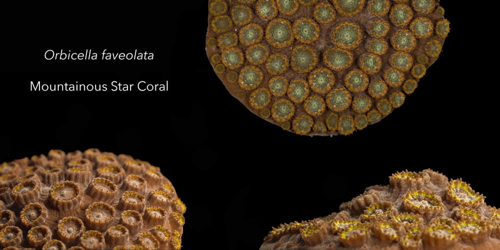 Three Mountainous Star Coral fragments with three different color morphs; yellow, orange, and green/orange.