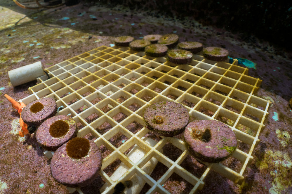 Coral recruits growing in a raceway at the Mote Marine Laboratory.