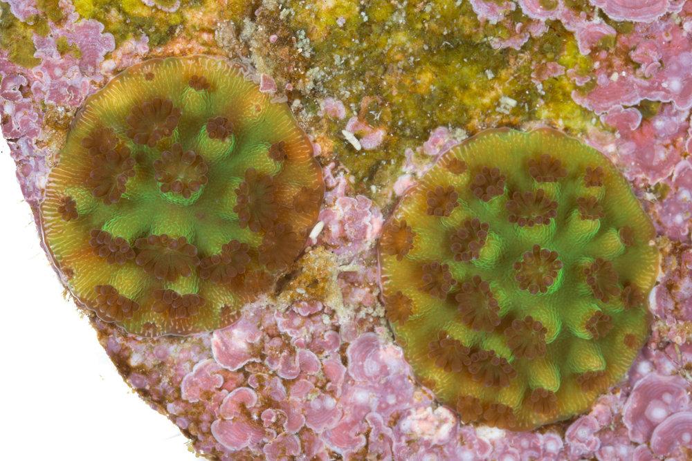 Two Elkhorn Coral ( Acropora palmata ) recruits.