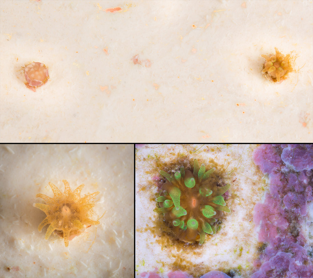 Here shows the development over a few months of a Pillar Coral ( Dendrogyra cylincdrus ) recruit. In the top left the tissue is still translucent due to having no symbiotic algae present yet. As it progresses you can see the algae begin to colonize the tissue. In the final image there are green tentacles. This is a characteristic commonly seen on the outer most ring of tentacles of Pillar Coral.