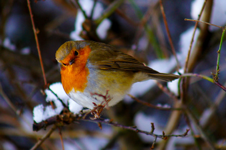 43428367 - robin and snow