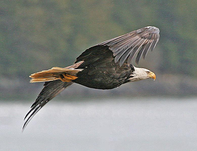 Bald Eagle.jpg