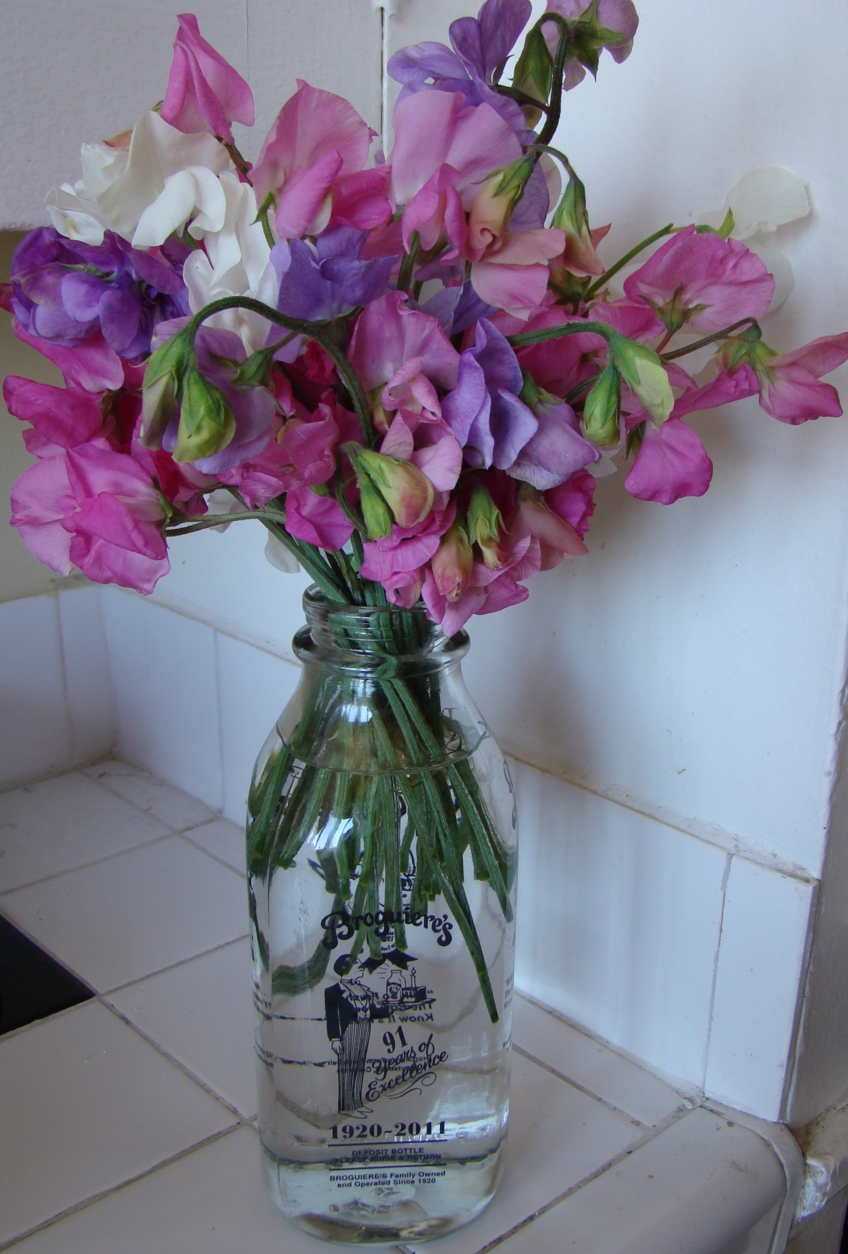 Sweet peas in a milk bottle. Fresh and simple.