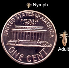 adult lice