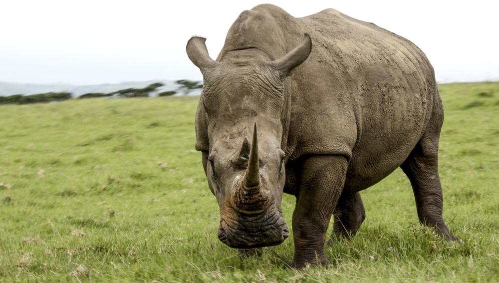 Tala Rhino | 2011